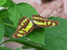 Sweet Dido Longwing by Momotte2