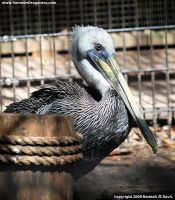.Eastern Brown Pelican. by Ahkahna