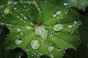 wet alchemilla vulgaris by marob0501