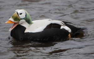 Eider LOLd by Rabid-Coot