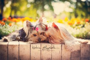 Yorkshire Terrier 5 by Katrin-Elizabeth