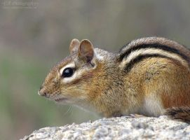 Chipmunk 546 by caybeach