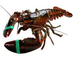Restricted Lobster 6711433 by StockProject1