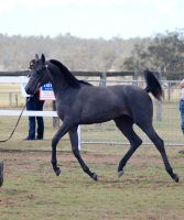 GE Arab Filly grey  trot side view by Chunga-Stock