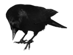 crow 12 by peroni68