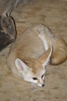 Fennec Fox 003 by MonsterBrand-stock