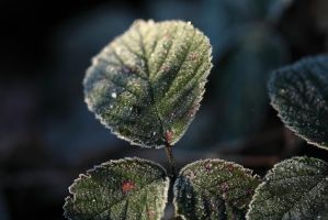 Frosty leaves by petmag
