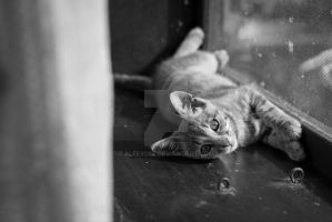 Little kitten lying near window by aleexdee