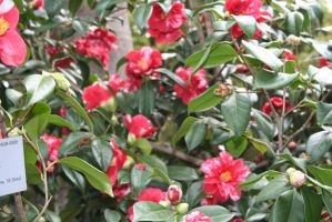 camellias in Flora garden house 2 by ingeline-art
