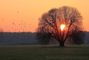 my favorite tree the summer linden in the evening by MT-Photografien