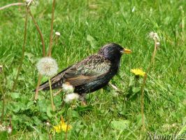 Starling in dandelions by Momotte2