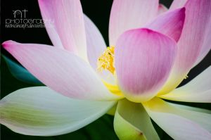 water lily by NathiConcepts