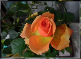 Frozen rose 3 by Placi1