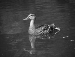 can't stop the duck by GreenSlOw