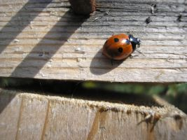 Ladybird by Tasastock