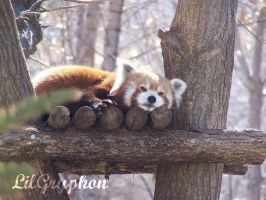 Red Panda by lilgryphon23