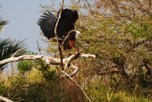 Fish Eagle by krazy3