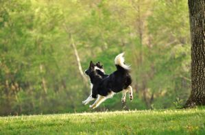 Flying Collie by Aerizalia