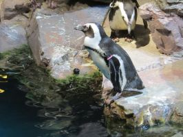 African Penguin Stock 6271 by sUpErWoLf--StOcK