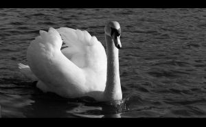Swan by Gilly71