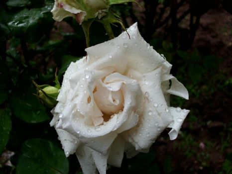 White Rose by ANDMAiYESi1986