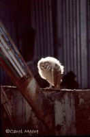 Barn Owlet by Carol-Moore