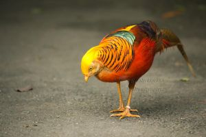 Golden pheasant by Bobbykim666