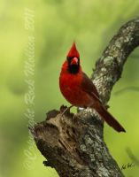 Cardinal by SteelCowboy