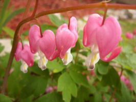 Trail of Bleeding Hearts by Writer5