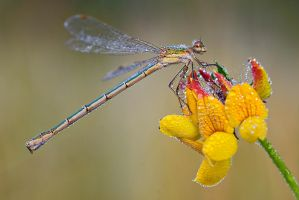 southern emerald damselfly by MartinAmm