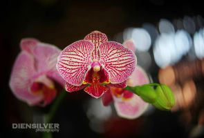 Orchid mellow by diensilver