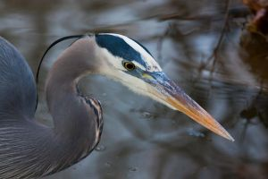 Great Blue Heron by Pharmagician
