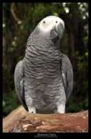 Congo African Grey Parrot by xtragic-afflictionx