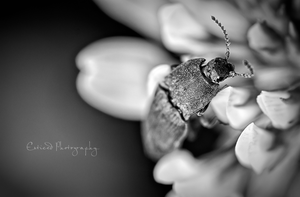 ~ Beetle by Enticedphotos