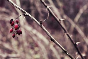 barberry / 2 by antarctics
