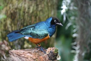 Superb Starling 5 by destinysWalrus