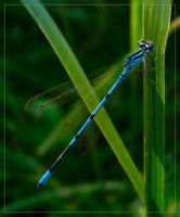 dragonfly by dropoflight by Insect-Lovers-Club