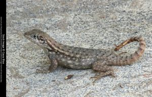 Curly Tail Lizard Stock 10 by Cassy-Blue