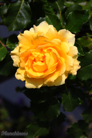 Yellow Rose by munchinees