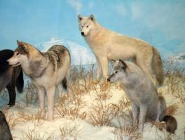 Denver Museum Wolves 204 by Falln-Stock