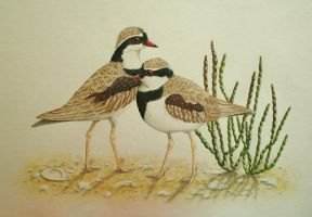 Black-fronted Dotterels (Elseyornis melanops) by gouldian-finch