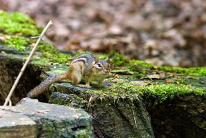 Siberian Chipmunk by duncan-blues