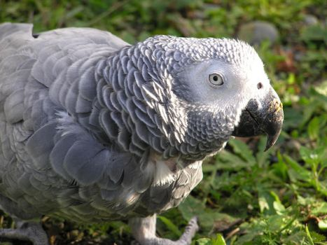 Mother's African Grey by Blackmoonlily