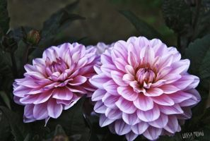 Dahlias in the dark by gameover2009