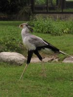 Secretary bird 12 by animalphotos