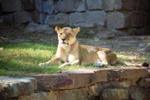 Lioness by drumgirl67