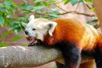 Yawning Red Panda by thebreat