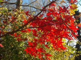 Maple in autumn by GUDRUN355
