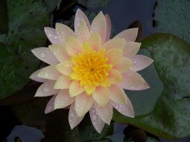 Water Lilly pt. I by Last-Caress