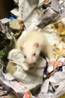 Albino Ferret Box.6 by That1nerdychick